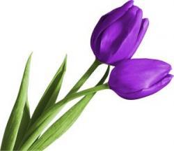 Crocus clipart purple tulip