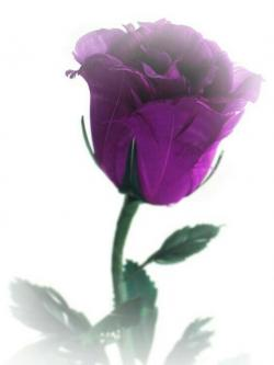 Purple Rose clipart single