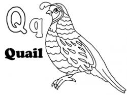 Quail clipart coloring