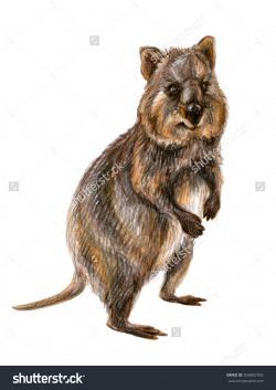 Quokka clipart marsupial