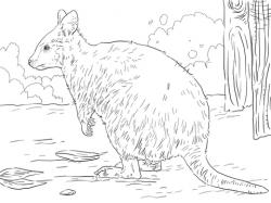 Quokka clipart australian