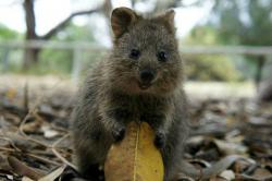 Quokka clipart happy animal