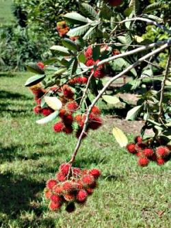 Rambutan clipart rambutan tree
