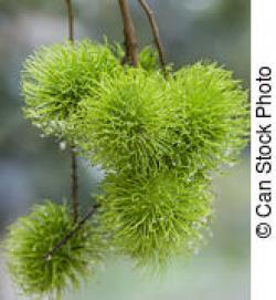 Plant clipart rambutan