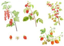 Currants clipart red fruit