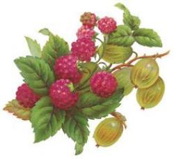 Raspberry clipart vintage