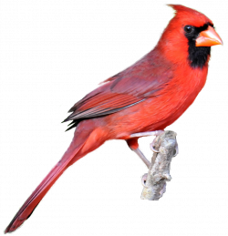 Starling clipart cardinal bird