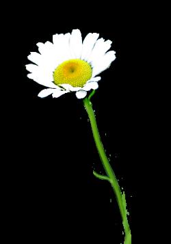 Daisy clipart flower stalk