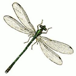 Dragonfly clipart graphic