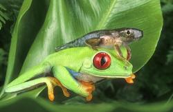 Red Eyed Tree Frog clipart frog tadpole