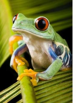 Amphibian clipart amazon rainforest