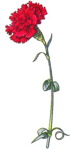 Carnation clipart wine
