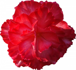 Carnation clipart real flower