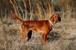 Irish Setter clipart hunting dog