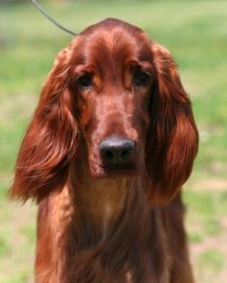 Red Setter clipart red colored