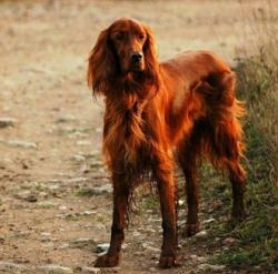 Irish Setter clipart red colored