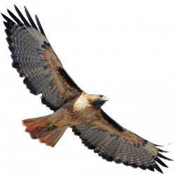 Cooper's Hawk clipart hawk flying
