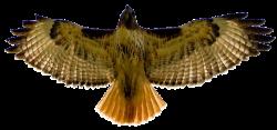 Cooper's Hawk clipart art