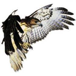 Cooper's Hawk clipart tail