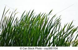 Reed clipart wetland