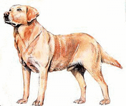 Golden Retriever clipart labrador