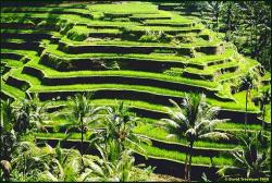 Rice Terrace clipart