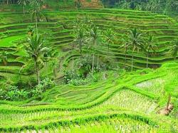 Rice Terrace clipart indonesia