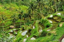Rice Terrace clipart padi field