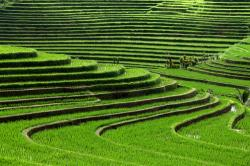 Rice Terrace clipart rice crop