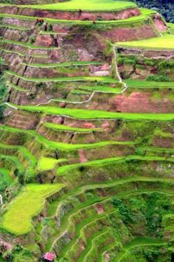 Rice Terrace clipart rice field