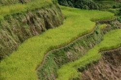 Rice Terrace clipart rice plant