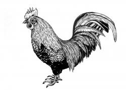 Drawn rooster sketch