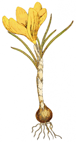 Roots clipart bud