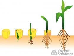Beans clipart corn seed