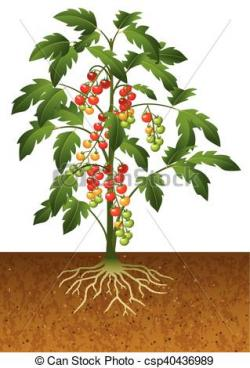 Roots clipart tomato plant