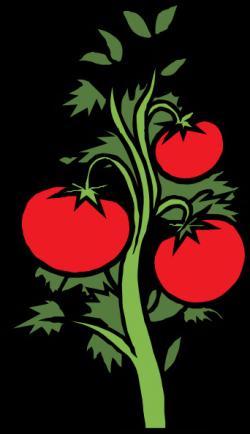 Drawn tomato clip art