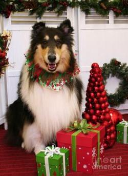 Rough Collie clipart christmas