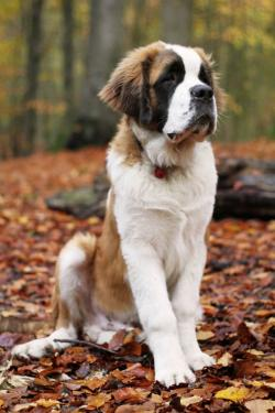 St. Bernard clipart loyal dog