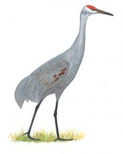 Sandhill Crane clipart