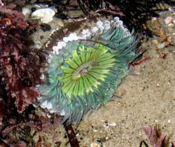 Sea Anemone clipart