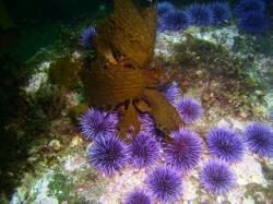 Sea Urchin clipart