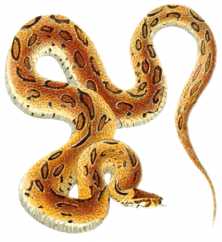 Viper clipart animal
