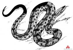 Drawn snake anaconda snake