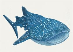 Stingray clipart whale shark