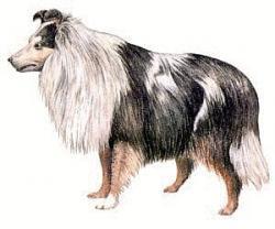 Shih Tzu clipart shetland sheepdog