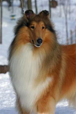 Rough Collie clipart farm dog