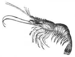 Crustacean clipart udang