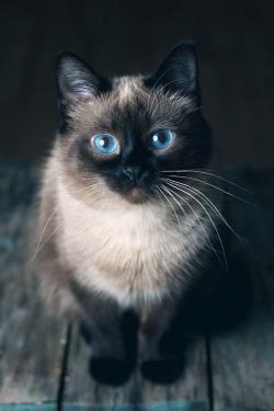 Siamese Cat clipart himalayan