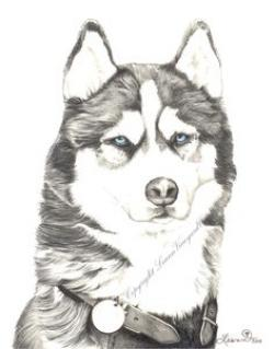 Drawn husky siberian husky
