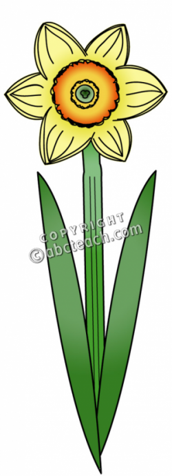 Daffodil clipart single